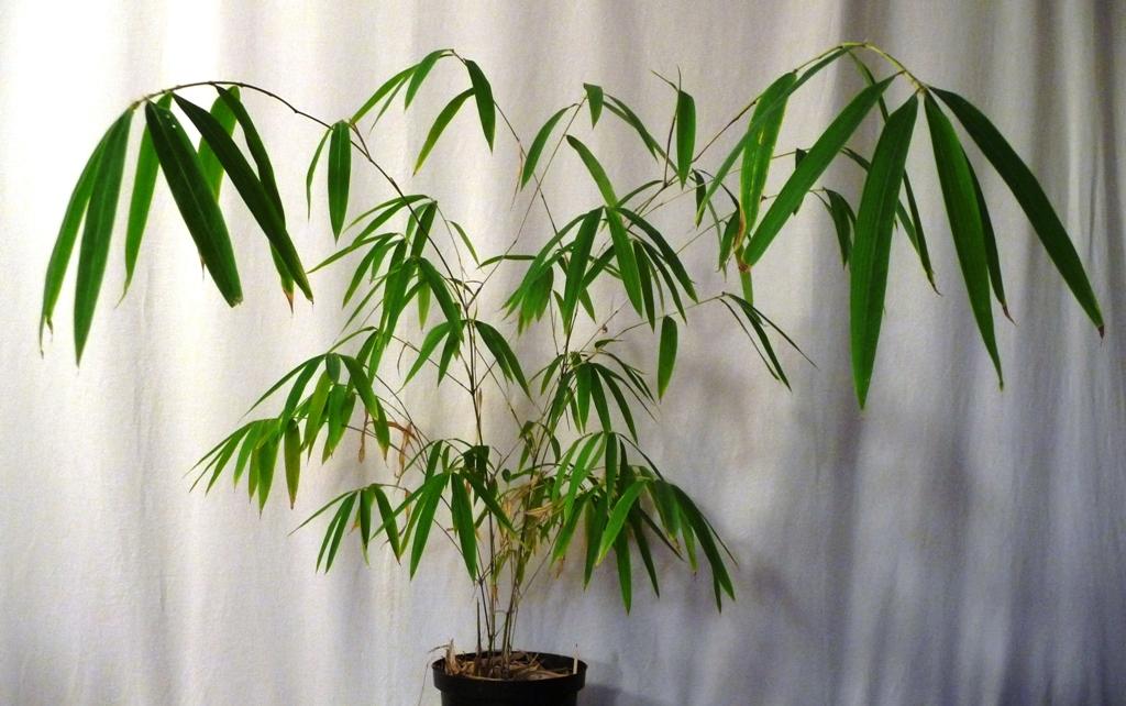 comment planter graine de bambou