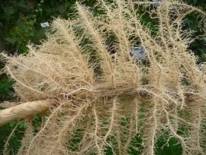 Rhizome racines et radicelles poussant dans le sable.