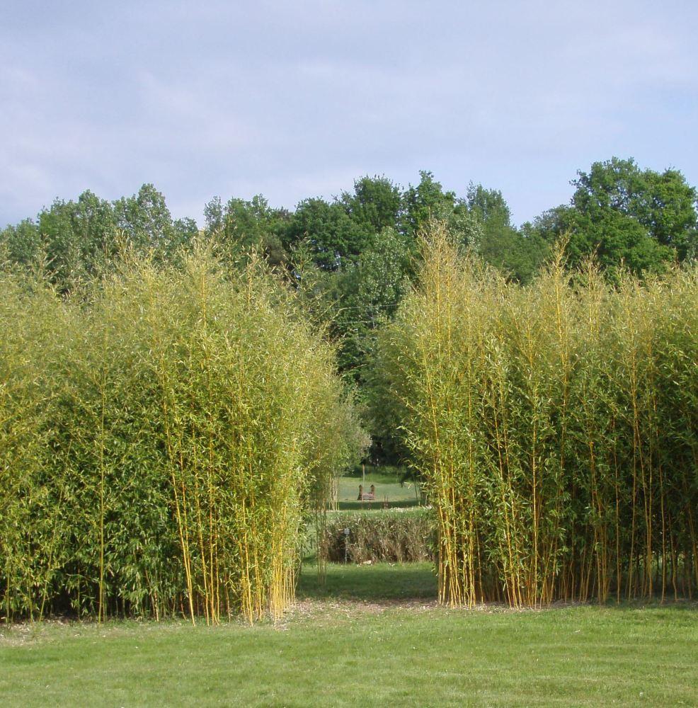 Vente bambousaie (Fontguenand, 36600 Valençay) (2/6)
