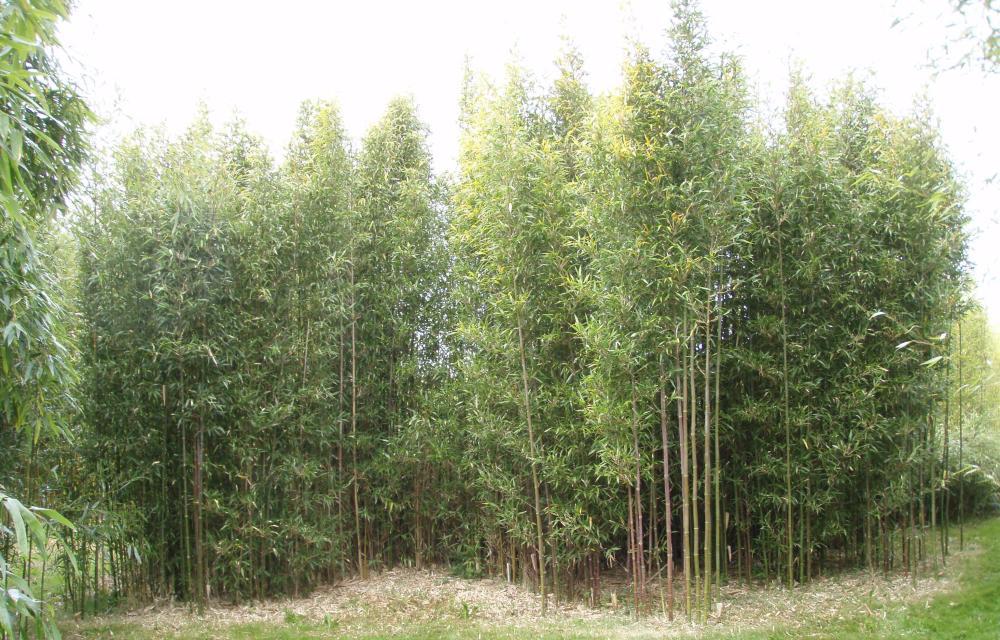 Vente bambousaie (Fontguenand, 36600 Valençay) (3/6)
