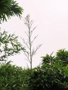 Stagnation du développement des feuilles d'un turion de 2015