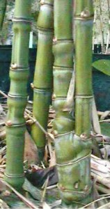 1-Ph.aurea_(J.Dupin-2001)